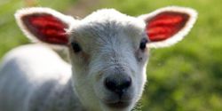 Demand justice for sheep exposed to abuse in the US and Australian wool industries