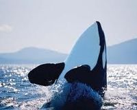 Keep the Puget Sound Orcas on the Endangered Species List!
