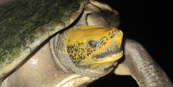 Save Central American River Turtle