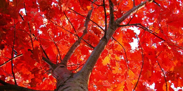Maple Leaf vs Oak Leaf Maple-leaf Oak is One of The