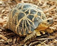 Save the Burmese star tortoise