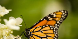 Protect Monach Butterfly from Deadly Pesticide
