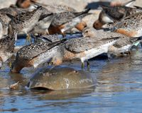 Continue to Protect NJ Horseshoe Crabs and Migratory Shore Birds