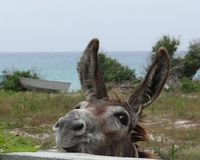 Save the Wild Donkeys of Inagua (Bahamas) from Extinction