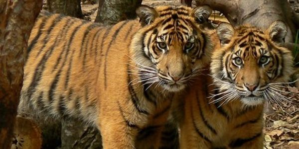 Preserve Parks and Habitat of the Endangered Tigers in Nepal & India!