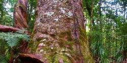 New Zealand - Save the Kauri Tree