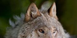 Stop the de-listing of our American Wolf!