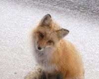 STOP THE KILLING OF FOXES IN LONDON