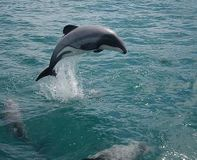 Protect the World's Rarest Dolphins in New Zealand