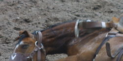 Make Rodeos Permanantly Illegal in New Zealand