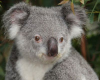 Save koalas from possible extinction