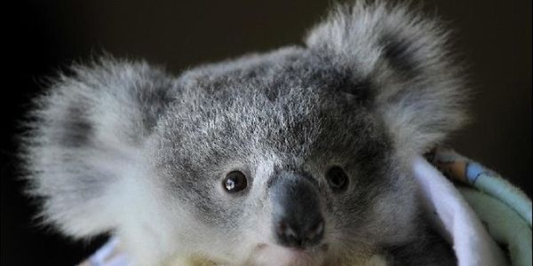 Demand Victoria Improve koala protection