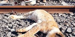 Tell Railroad Throughout India to Impose More Stringent Rules to Stop Killing Lions