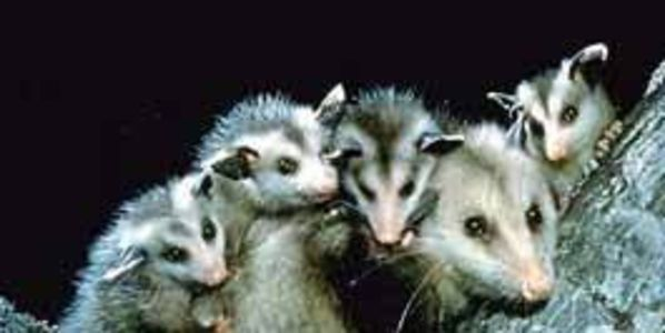 Immediated Action Needed to Stop the Opossum Drop in NC‏