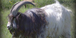 Save the Icelandic Goat from Extinction!