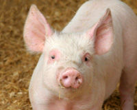Tell Medical Center: Don't Practice on Live Pigs!