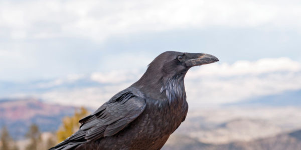 State of Idaho To Kill 4000 Ravens