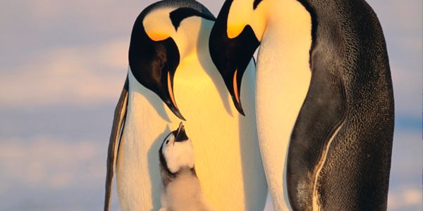 Help Emperor Penguins Avoid a March to Extinction