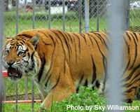 Free Tony the Tiger from His Truck Stop Cage