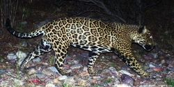 I Stand with El Jefe, America's Only Wild Jaguar