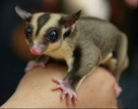 Ban Sugar Gliders as Pets in U.S