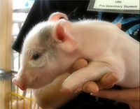 Stop Using Live Pigs for Medical Training at North Dakota University