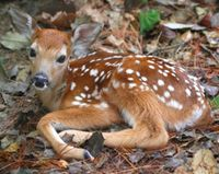 Investigate Baby Deer Killed by SWAT Team in Wisconsin