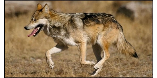 Ban Livestock Grazing in Mexican Wolf Recovery Area