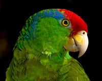 Save the Green Cheek Amazon Parrot Globally endangered