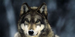 Save Wolves From Extinction; Keep Them on the Endangered Species List!