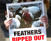Stop the Abuse of Geese