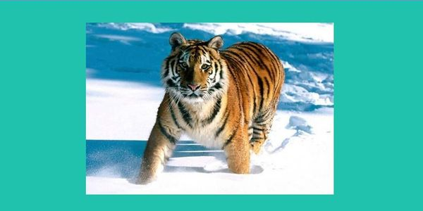 BAN SALES OF SIBERIAN (AMUR) TIGER PARTS IN RUSSIA