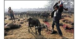 Stop the World's Largest Animal Sacrifice in Nepal