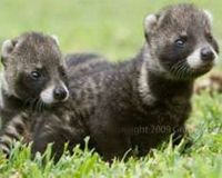 Stop Civet Cruelty for Perfume