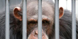Save Chimps from Science Experiments