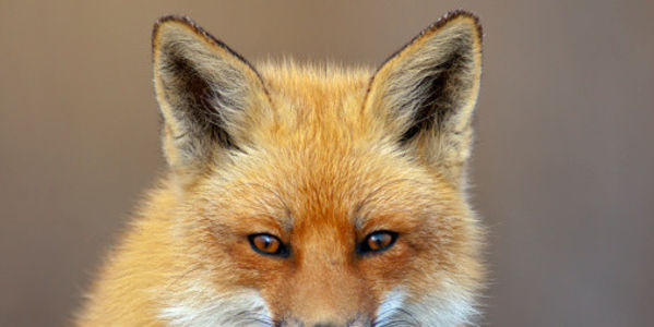 Tell Cameron Not to Relax Fox Hunting Ban
