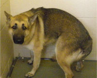 German Shepherd BRIDGES rescued to be shot Days later by a Boarding facility owner!