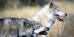 Tell Governor Inslee: Don't Gun Down Washington's Wolves
