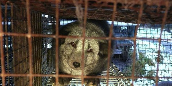 Demand an end to fur farming in Finland/Exiga que las granjas peleteras se cierren en Finlandia