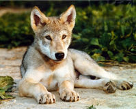Stop Wolf Trapping in Montana