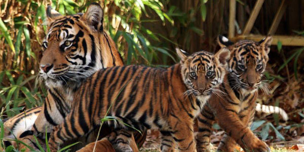 Over 90,000 Acres of Critical Tiger Habitat to be Logged for Profit - Stop FDCM's Plan!