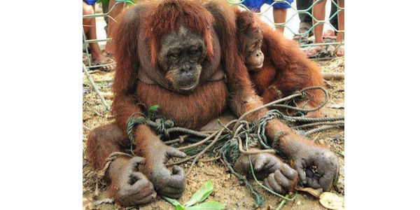 Save the Orangutan from Cruelty and Extinction