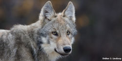 Stop the Wolf Killing Competition in Idaho
