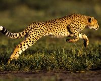 WILD CHEETAH: A STRUGGLE TO SURVIVE