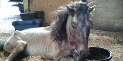 Demand Justice for Starved Miniature Horses in Florida