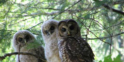 Stop Wildlife Officials from Killing 100 Threatened Owls for Timber