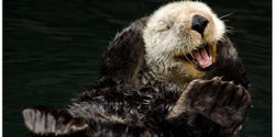 Save the Alaskan Sea Otter from Slaughter
