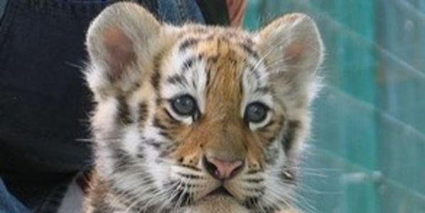 Stop poaching of tigers, young and old in Ahmadabad, India