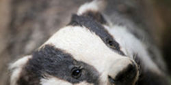 Stop the Cruel and Unnecessary Killing of Badgers