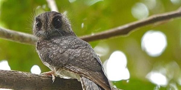 Let´s do all we can to save the remaining 49 Caledonian Owlet-Nightjars